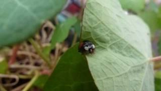 Harlequin ladybird - Harmonia axyridis  - Ladybird - Maríuhæna - Asíudepla - Bjöllur - Skordýr