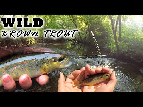 Tactical Fly Fishing For WILD Connecticut Trout (Tankerhoosen River)