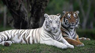 Зоопарк. Редкость.  Белый тигр.  Развивающее видео для детей. Zoo. White Tiger.Video for children.
