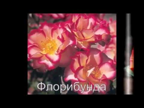 Плетистые розы сорта с фото, посадка и уход