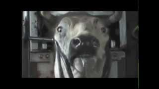 Must Watch Video! There is no such thing as happy, humane organic meat - Kosher/Halal Slaughter myth