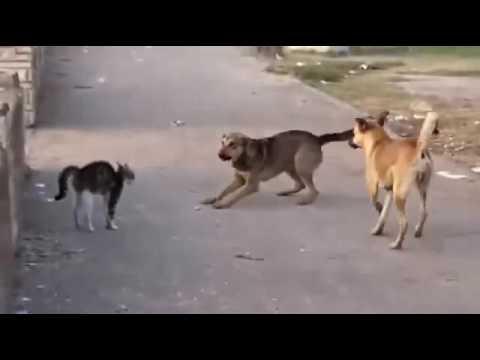 Gato brabo vs manada de perros