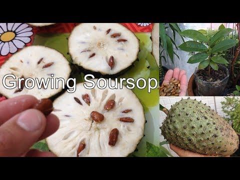 Growing Soursop From Seed To Fruit In Containers