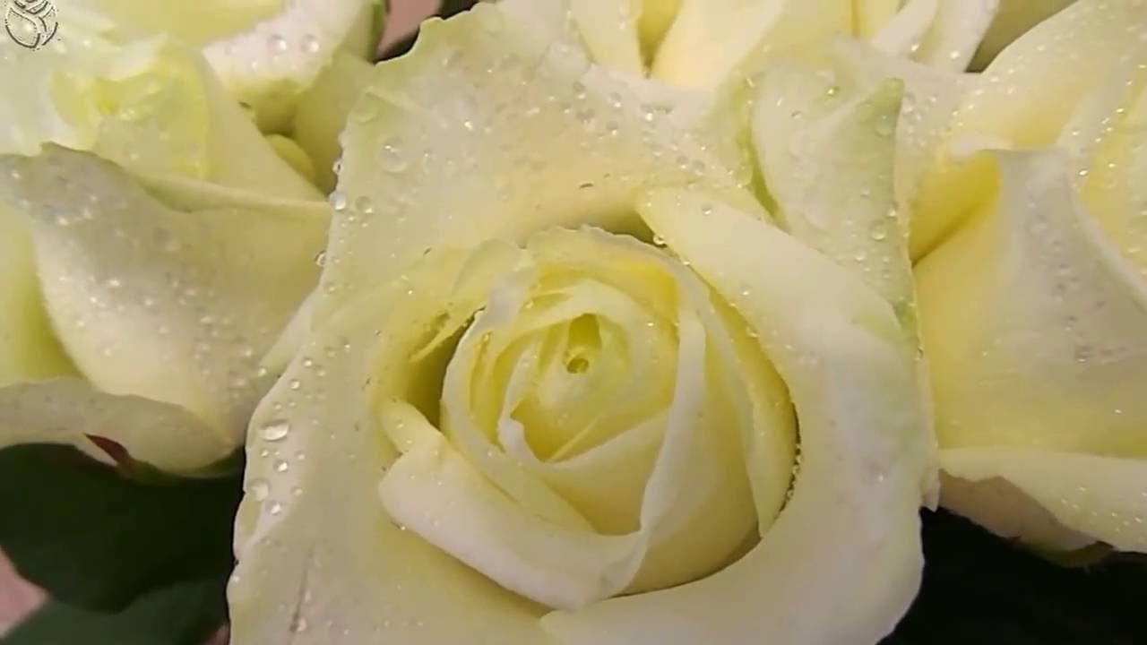 Футаж. Белые розы в каплях росы&Скачать бесплатно& Для создания видео