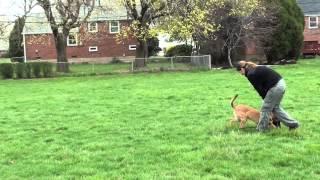 Milk - 6 Months Old Puppy Obedience