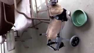 Hurley Is A 12 Year Old Pug Using His Small Size Wheelchair For The 1st Day.  Hexa-novelties On Ebay