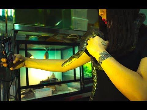【Aha视频】吸蛇!被割掉毒腺的眼镜王蛇,成为年轻人和富豪的新宠物