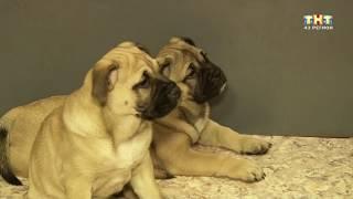 хочу собаку кадебо (ка де бо, ка-де-бо, ca de bou)