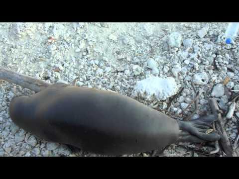 Hawaiian Monk Seal Tribute {French Frigate Shoals}