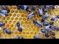 بيض النحل و الملكة / الدرس الرابع و العشرون /تربية النحل للمبتدئين