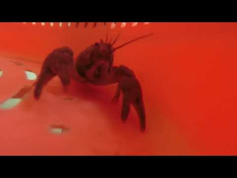White Clawed Crayfish In Lincolnshire
