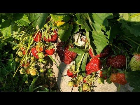 КЛУБНИКА.УСЫПАНО ГРОЗДЬЯМИ ЯГОД НА ГРЯДКЕ В ТРАВЕ,даже не ожидала обильного урожая в этом году