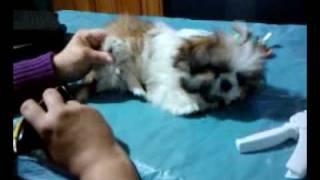 Shih Tzu puppy trim at home