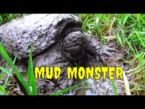 Searching For Wild Snapping Turtles