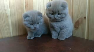 Лілові висловухі котики братики