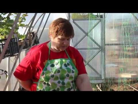Как сажают огурцы в теплице видео