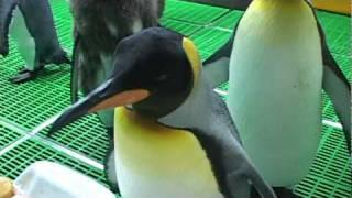 臺北市立動物園_國王企鵝吃魚及換羽 King Penguin
