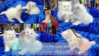 Imported line Persian kittens special quality from VIKAS PET SHOP