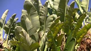 AVE DEL PARAISO GIGANTE II: Strelitzia nicolai (http://www.riomoros.com)