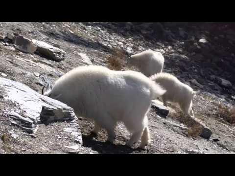 Canadian Mountain Goats