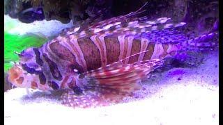キリンミノ Zebra turkeyfish,Zebra lionfish Dendrochirus zebra