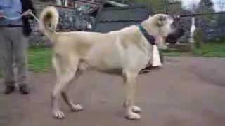 Turkish Kangal Dogs The Biggest Dogs Of The World
