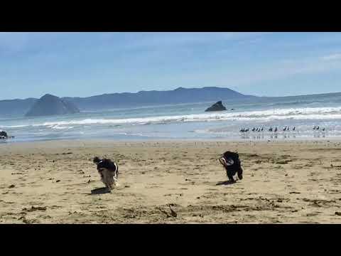 Beach Day with my English Toy Spaniels (aka King Charles Spaniels)