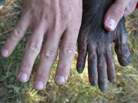 Image result for chimpanzee hands compared to human
