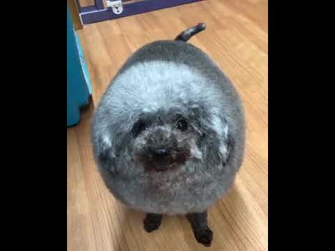 Fluffy dog looks like sheep. | LadDog