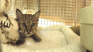 Our Newest Rehab Bobcat Kitten: Spirit Feather