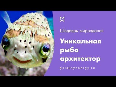 Рыба архитектор. Это