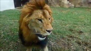 2016年4月28日から公開の千葉市動物公園のライオン、「アレン」...