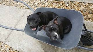 A Staffordshire Bull Terrier / The nany dog /