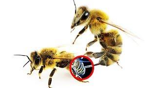Kann eine Biene eine andere Biene stechen?