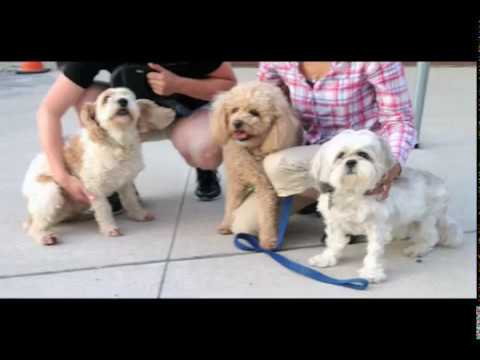 Lhasa Apso Small Dog Snoring & Walking Dream