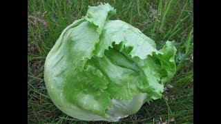 Салат айсберг в Крыму. Выращивание рассады салата. Высадка рассады салата айсберг
