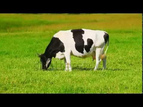 Cow Eats Grass Youtube