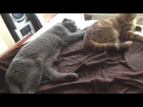 3 Cats just chilling in bed! 2 Scottish Folds & a black cat!