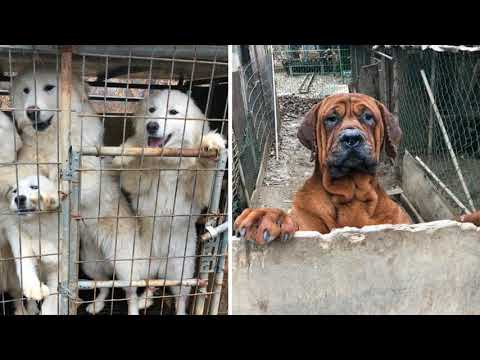 Dogs destined to be slaughtered for food r escued by animal aid workers