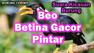 Suara Kicauan Burung Beo Betina Gacor Pintar Bicara Cocok Buat Masteran