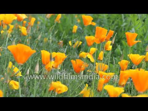 Cheery Californian poppies grow in an Indian garden