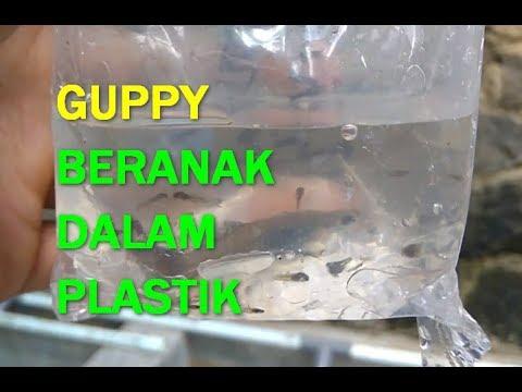 Ikan Hias Guppy Black Moscow Menetas di Dalam Plastik ...