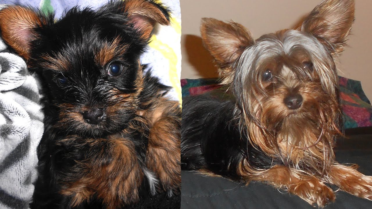 yorkie puppy growing up youtube. Black Bedroom Furniture Sets. Home Design Ideas