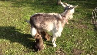 保護犬パイとゴマは、ヤギのカエデからおっぱいをもらって大きくなりま...