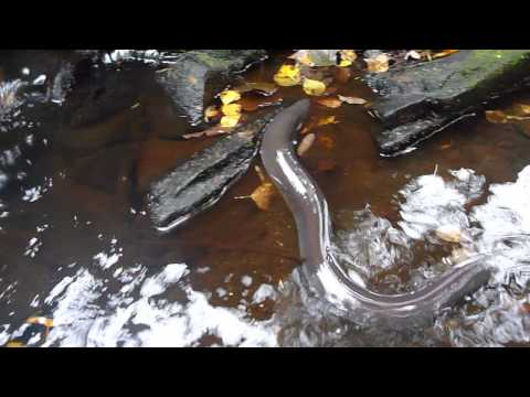 European eel (Anguilla anguilla) moving from puddle into creek