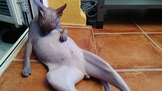 Sphynx Cat RAMSES  Funny Video Compilation