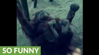 Female orangutan shows off for zoo visitors