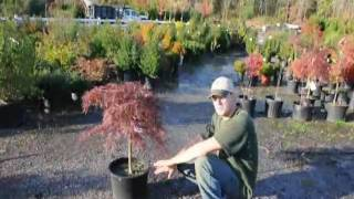 Tending your Crimson Queen Maples in Eastern US