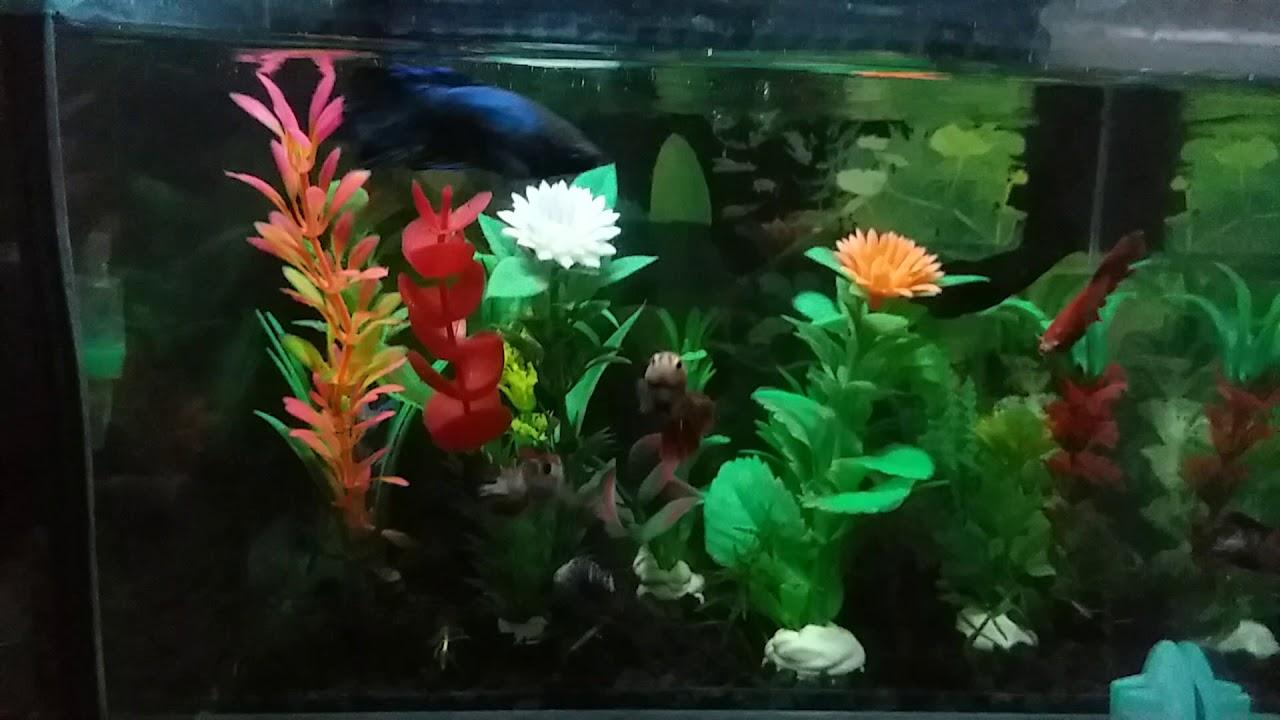 Ikan Cupang Betina Gw Akhirnya Bs Akur Dalam 1 Aquarium Youtube