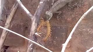 Lizard Chameleon vs Centipede || गिरगिट की पटखनी कानखुजरे पे भारी ||